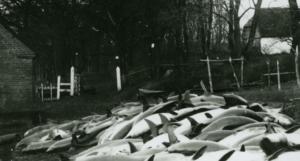 Marsvinefangst på land ved Teglgården